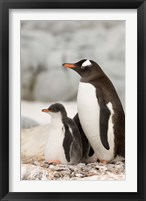 Framed Antarctica, Petermann Island, Gentoo Penguins