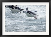 Framed Antarctica, South Shetland Islands, Chinstrap Penguins swimming.