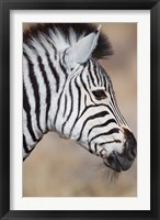 Framed Burchell's Zebra, Etosha National Park, Namibia