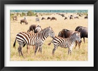 Framed Common Zebra or Burchell's Zebra, Maasai Mara National Reserve, Kenya