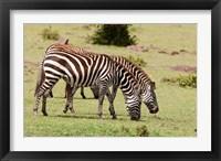Framed Zebra grazing, Maasai Mara, Kenya