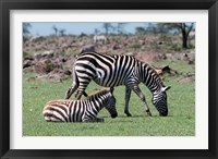 Framed Common Zebra, Maasai Mara, Kenya
