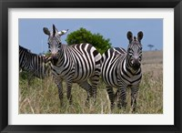 Framed Common Zebra, Masai Mara National Reserve, Kenya