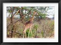 Framed Giraffe, Maasai Mara National Reserve, Kenya
