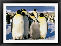 Framed Emperor Penguins, Atka Bay, Weddell Sea, Antarctic Peninsula, Antarctica