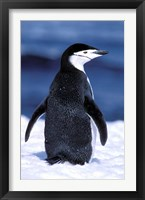 Framed Chinstrap Penguin, Weddell Sea, Antarctic Peninsula, Antarctica