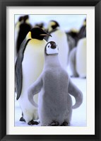 Framed Emperor Penguin with Chick, Atka Bay, Weddell Sea, Antarctic Peninsula, Antarctica