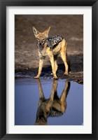 Framed Botswana, Chobe NP, Black Backed Jackal wildlife