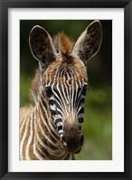 Framed Baby Burchell's Zebra, Lake Nakuru National Park, Kenya