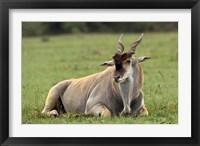 Framed Eland (Taurotragus oryx) Kenya's largest antelope