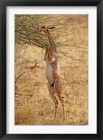 Framed Gerenuk antelope, Samburu Game Reserve, Kenya