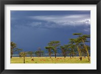 Framed Herd of male Impala, Lake Nakuru, Lake Nakuru National Park, Kenya