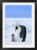 Framed Parent and chick Emperor Penguin, Snow Hill Island, Antarctica
