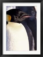 Framed Emperor Penguin, Antarctica