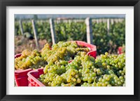 Framed Harvesting Chardonnay grapes in Huailai Rongchen vineyard, Hebei Province, China