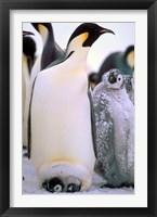 Framed Emperor Penguins, Antarctic Peninsula, Antarctica