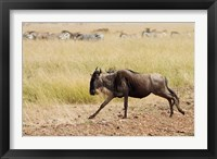 Framed Blue Wildebeest on the run in Maasai Mara Wildlife Reserve, Kenya.