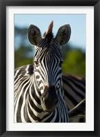 Framed Chapman's zebra, Hwange National Park, Zimbabwe, Africa