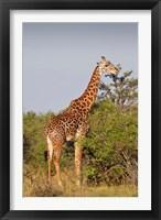 Framed Giraffe, Giraffa camelopardalis, Maasai Mara wildlife Reserve, Kenya.