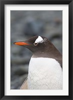 Framed Antarctica, Aitcho Islands, Gentoo penguin, beach