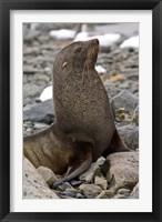 Framed Antarctica, Cuverville Island, Antarctic fur seal
