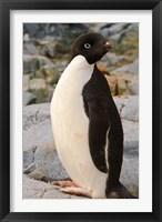 Framed Antarctica, Petermann Island. Adelie penguin