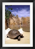 Framed Aldabran Giant Tortoise, Curieuse Island, Seychelles, Africa
