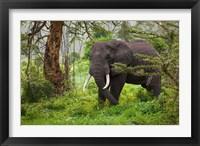 Framed African elephant, Ngorongoro Conservation Area, Tanzania