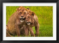 Framed African lions, Ngorongoro Conservation Area, Tanzania