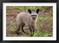 Framed Bat-eared fox, Serengeti NP, Tanzania.