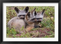 Framed Bat-eared foxes, Serengeti National Park, Tanzania