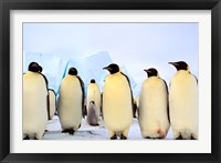 Framed Emperor Penguins, Atka Bay, Weddell Sea, Antarctica