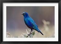 Framed Blue-eared Glossy Starling bird, Lake Nakuru NP, Kenya