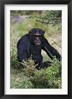 Framed Chimpanzee, Sweetwater Chimpanzee Sanctuary, Kenya