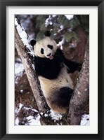 Framed China, Giant Panda Bear, Wolong Nature Reserve