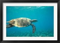 Framed Hawksbill Turtle, Mayotte Island, Comoros, Africa