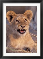 Framed Close-Up of Lion, Okavango Delta, Botswana
