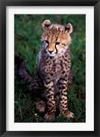 Framed Africa, Kenya, Masai Mara Game Reserve. Cheetah Cub