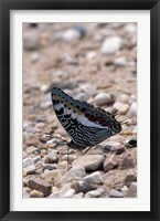 Framed Zebra Butterfly, Gombe National Park, Tanzania