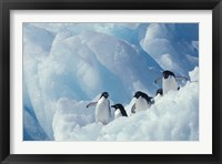 Framed Adelie Penguins, Antarctica