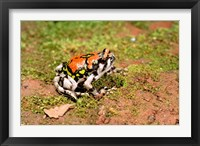 Framed Africa, Madagascar, Isalo. Terrible frog