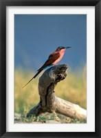 Framed Botswana, Chobe NP, Carmine Bee Eater bird, Chobe River