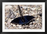 Framed Black Butterfly, Gombe National Park, Tanzania