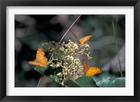 Framed Butterflies, Gombe National Park, Tanzania