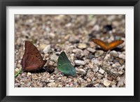 Framed Three Butterflies, Gombe National Park, Tanzania