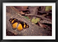 Framed Resting Butterfly, Gombe National Park, Tanzania