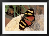 Framed Orange/Yellow Butterfly, Gombe National Park, Tanzania