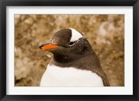 Framed Fledgling Gentoo Penguin, Antarctica