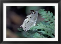 Framed White Butterfly, Gombe National Park, Tanzania