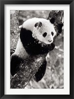 Framed China, Sichuan, Giant Panda Bear, Wolong Reserve